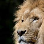 Какие камни подходят Львам по знаку зодиака для женщин и мужчин